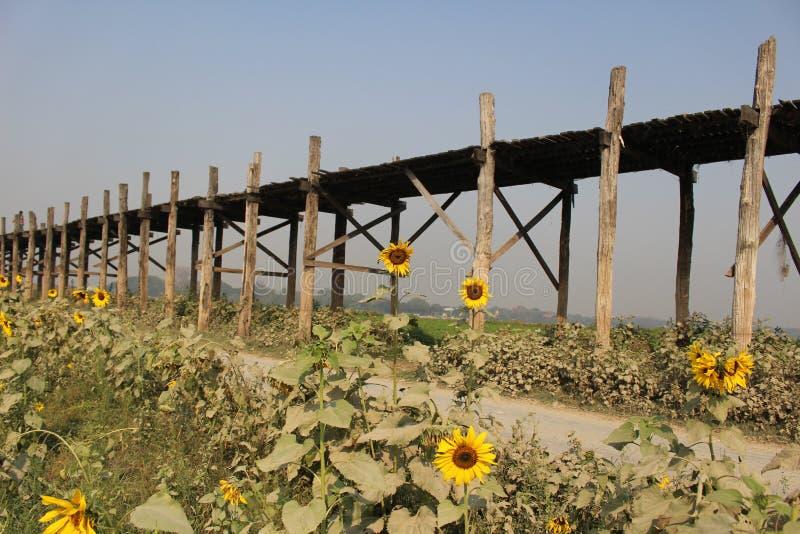 Tournesols à la saison sèche de Myanmar de pont d'U Bein images libres de droits