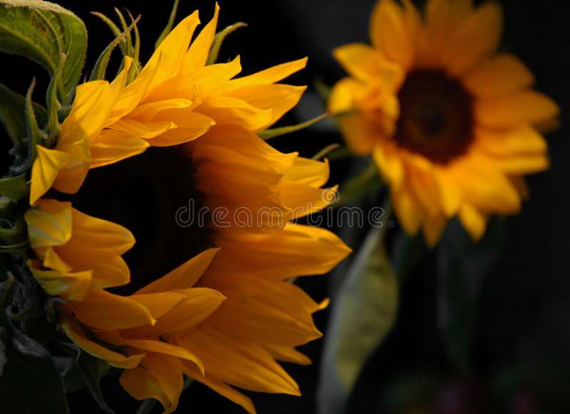 Tournesols photo libre de droits
