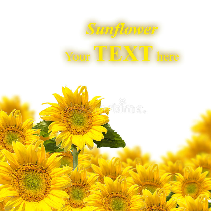 Tournesols illustration stock
