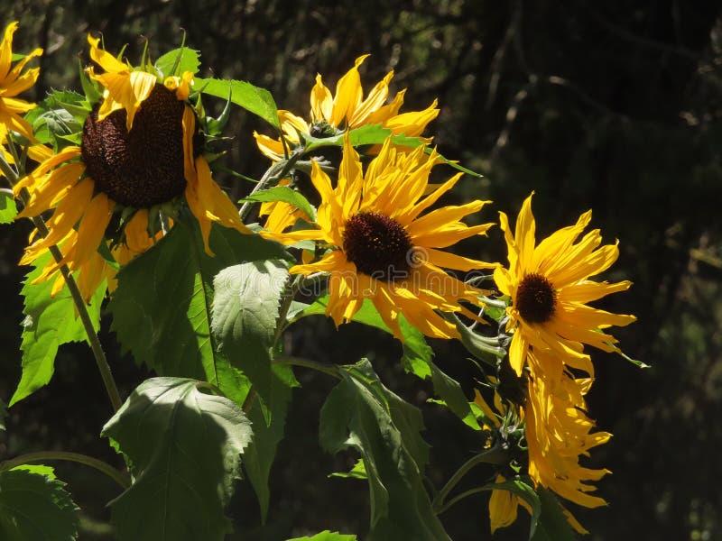 Tournesols aux jardins botaniques d'Ooty photographie stock