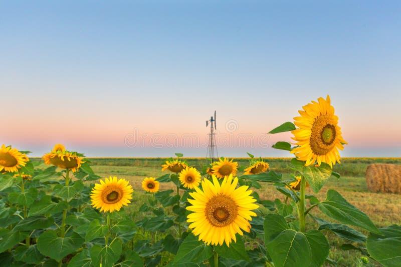 Tournesols avant lever de soleil photographie stock