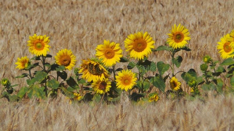 Tournesols dans le blé photos stock