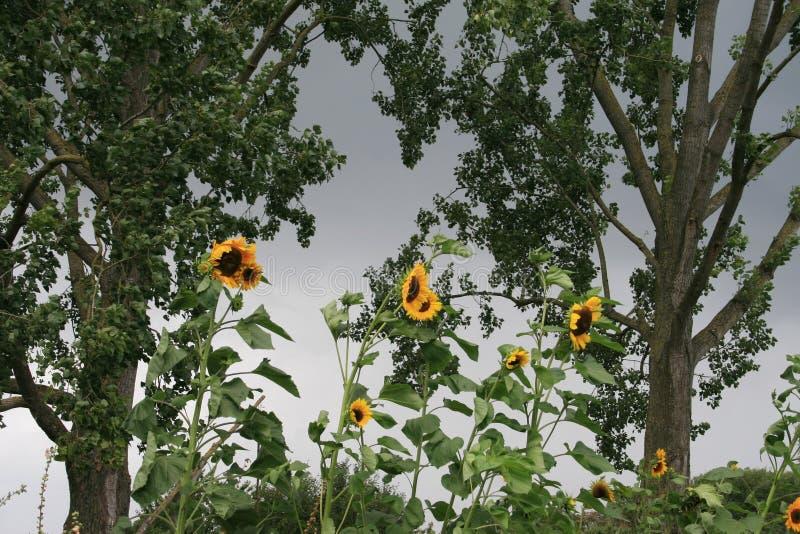 Tournesols dans le vent photographie stock libre de droits