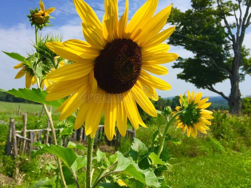 Tournesols dans un jardin photo libre de droits