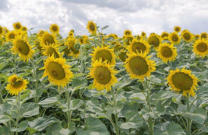 tournesols de floraison dans le domaine images libres de droits