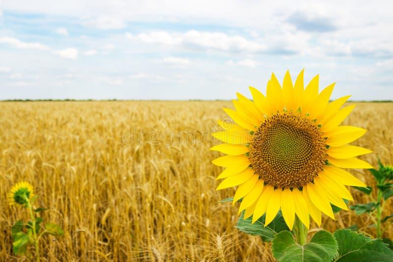 Tournesols de floraison isolés dans un domaine de blé un jour d'été photo stock