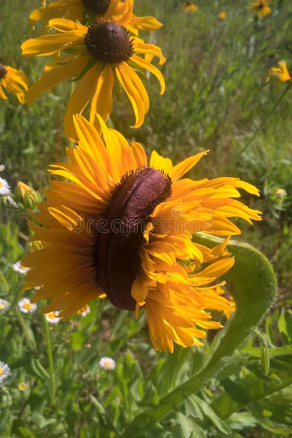 Tournesols de mutant images stock