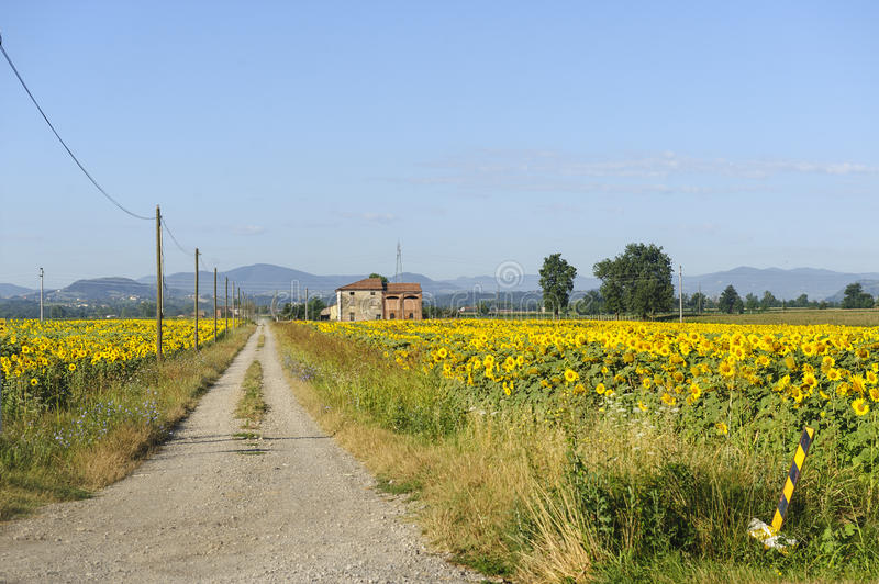 Tournesols en Emilia-romagna photos libres de droits