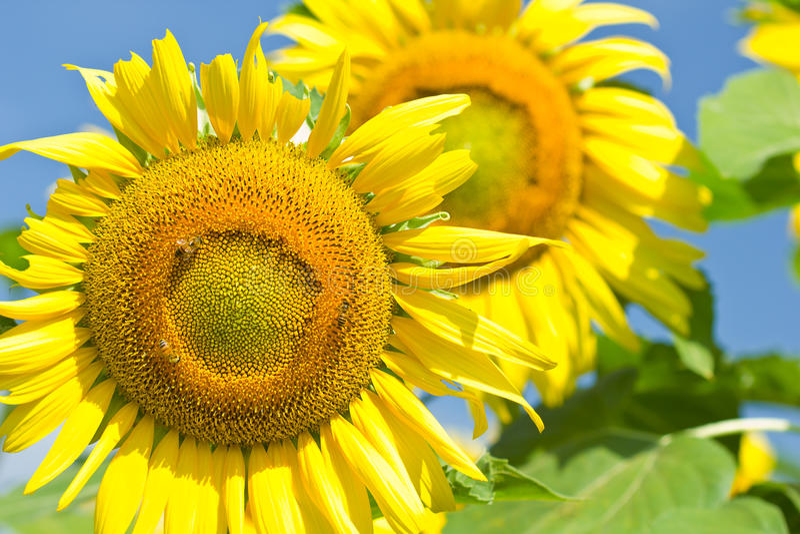Tournesols et abeille photo stock