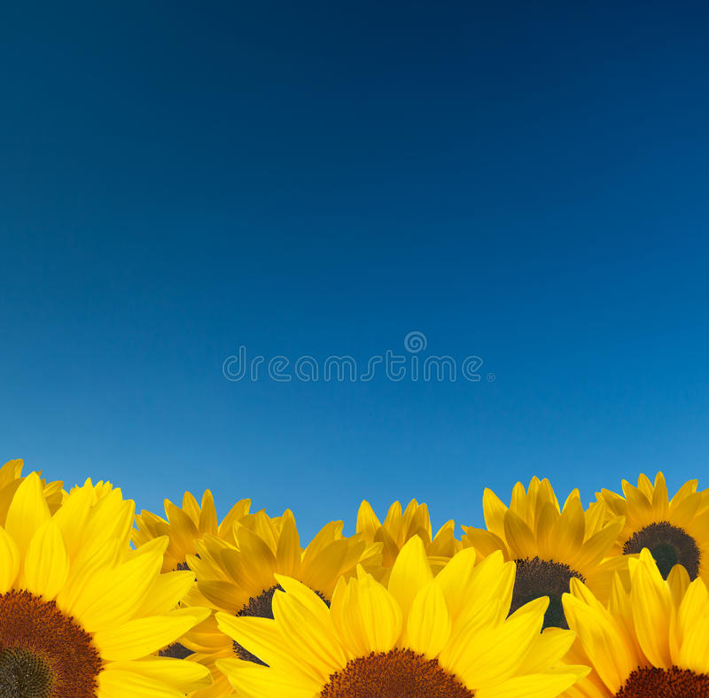 Tournesols et ciel bleu photos libres de droits