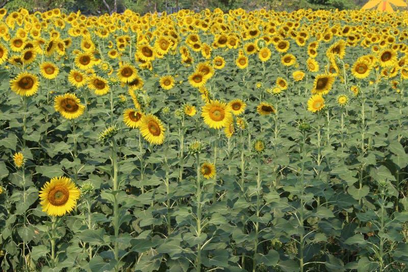 Tournesols, floraison de tournesols photographie stock