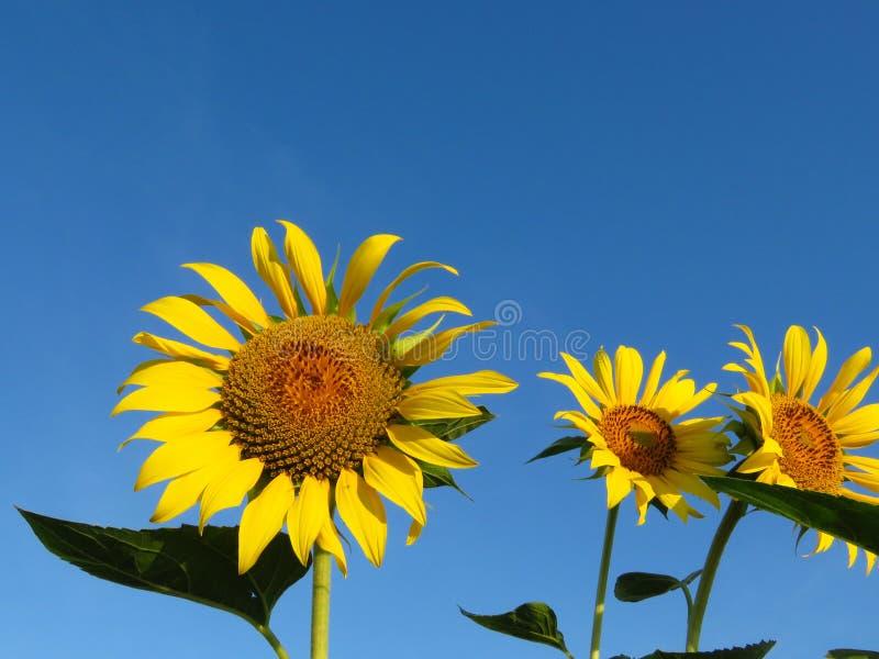 tournesols grands d'été orange Sun riche en Graines de tournesol Fond de tournesol jaune et de ciel bleu photo stock