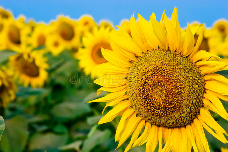 Tournesols jaunes au-dessus de ciel bleu images libres de droits