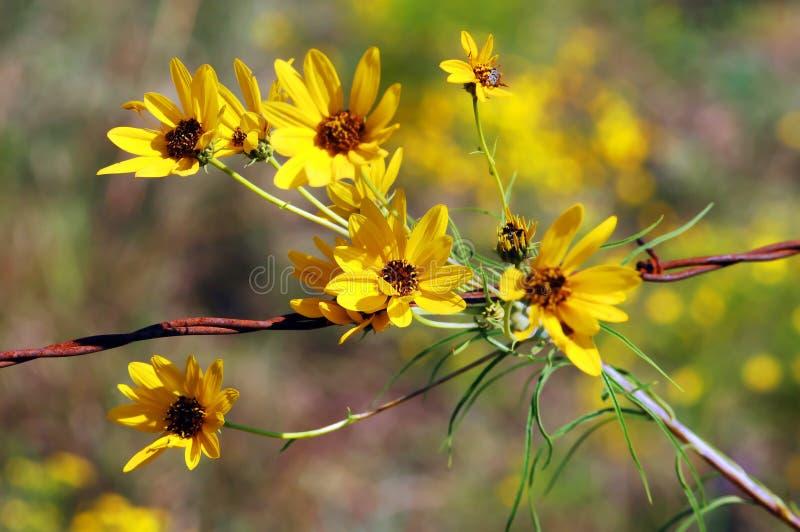 Tournesols jaunes de floraison images stock