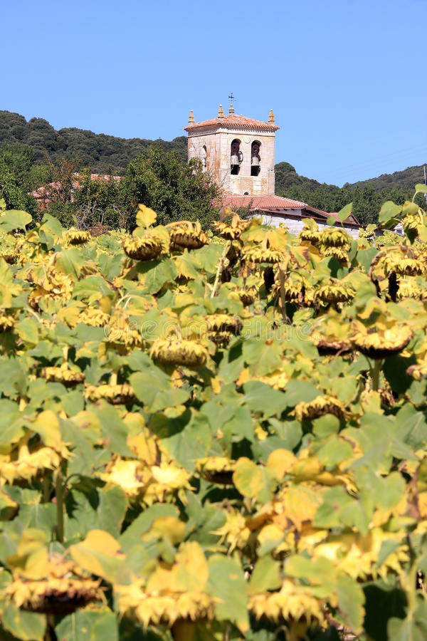 Tournesols jaunes en automne en Espagne photos libres de droits