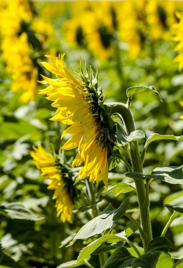Tournesols jaunes géants de floraison image libre de droits