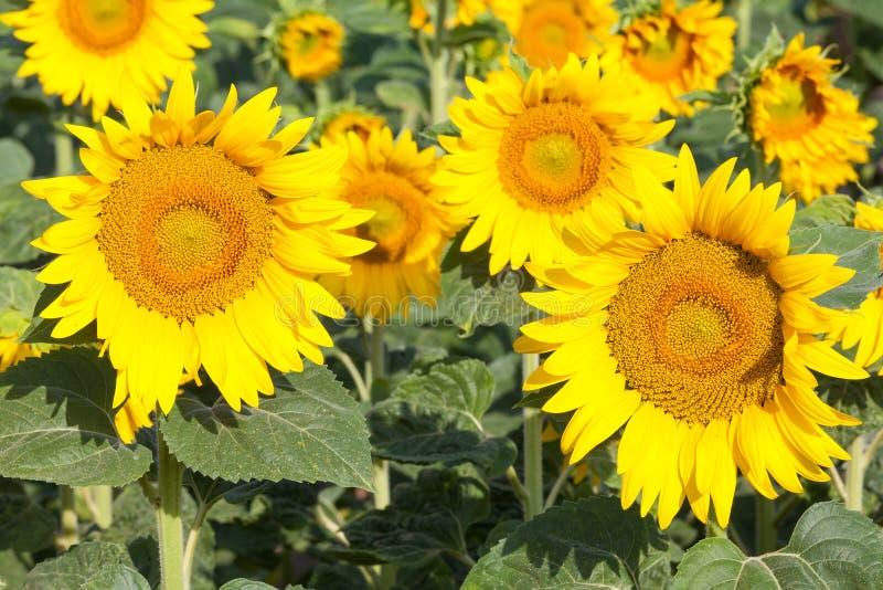 Tournesols jaunes lumineux dans un terrain photos stock
