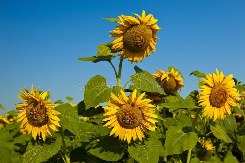 Tournesols jaunes sur le champ contre le gisement m?r de tournesol de fleurs de ciel bleu, ?t?, le soleil image stock