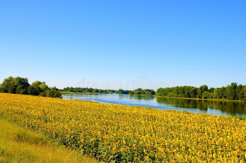 Tournesols merveilleux aux banques de la Loire images stock