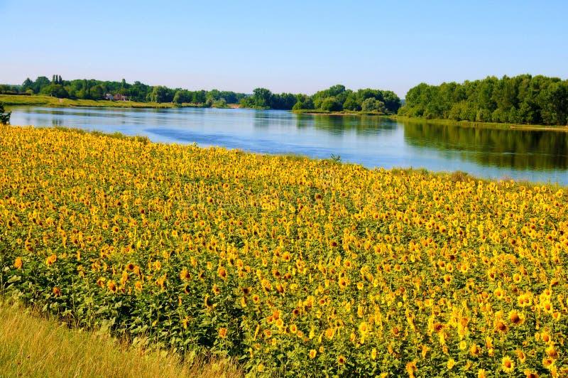 Tournesols merveilleux aux banques de la Loire photos libres de droits