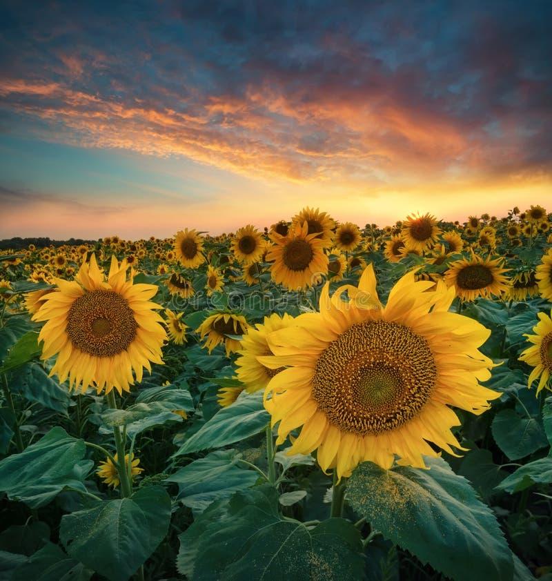 Tournesols sur le champ pendant le lever de soleil photos libres de droits