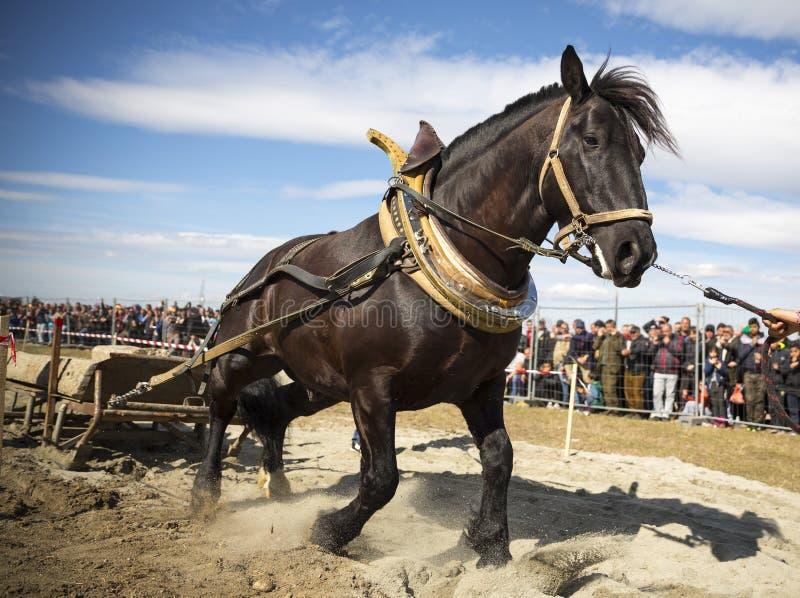 Tournoi lourd de traction de cheval photos stock