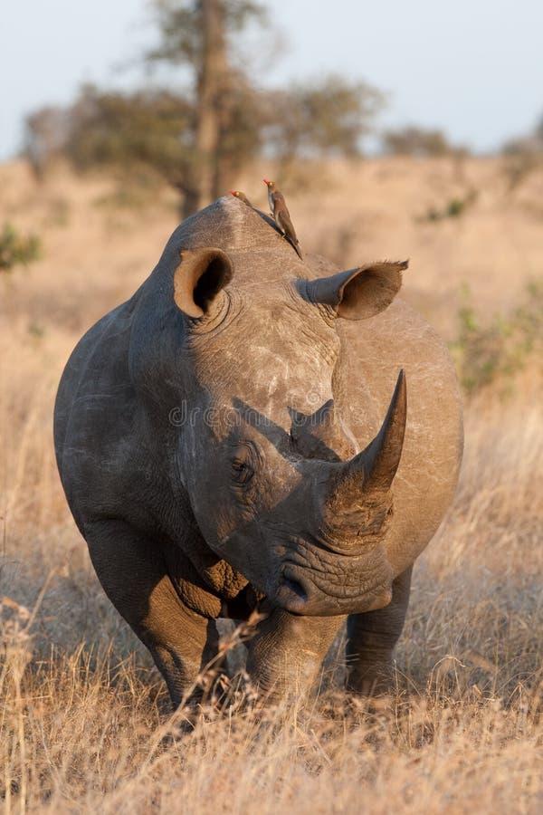 Touro branco do rinoceronte foto de stock