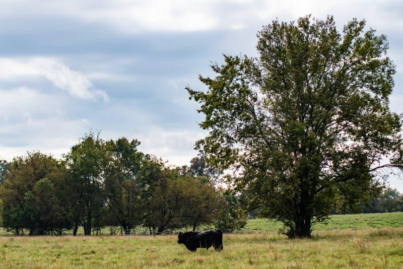 Touro de Angus no pasto com grande árvore foto de stock royalty free