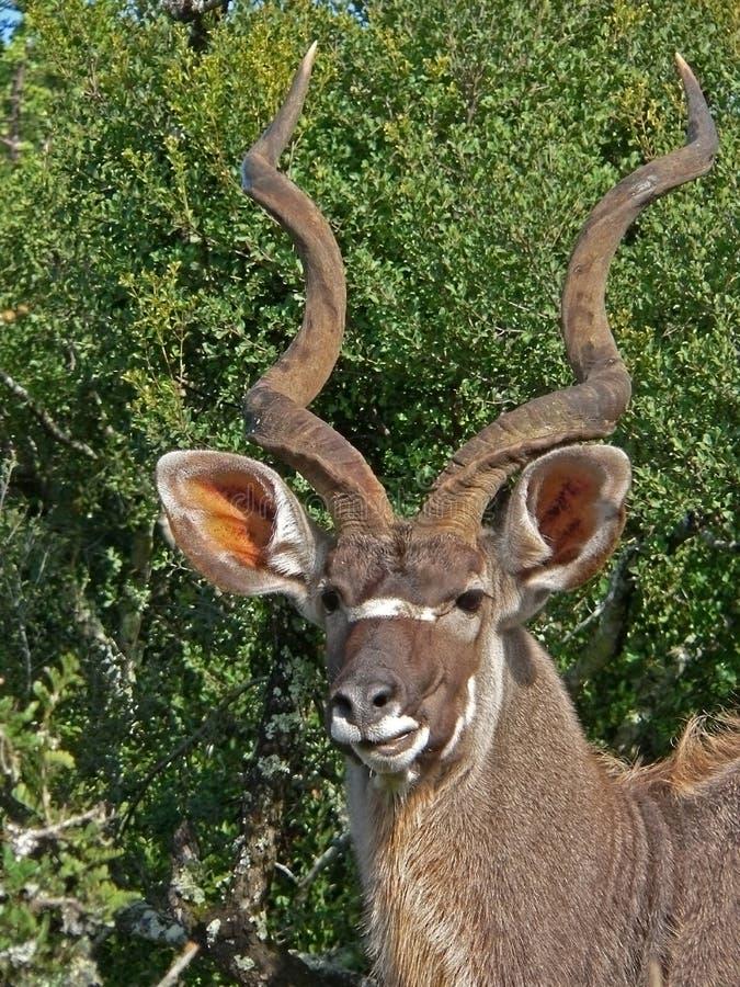 Touro de Kudu fotografia de stock