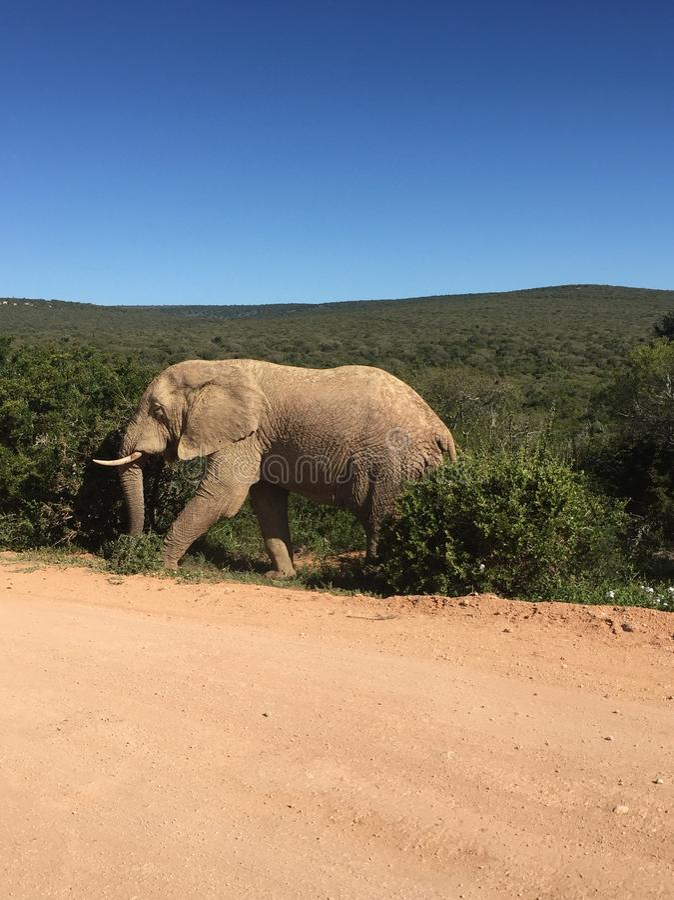 Touro do elefante fotografia de stock