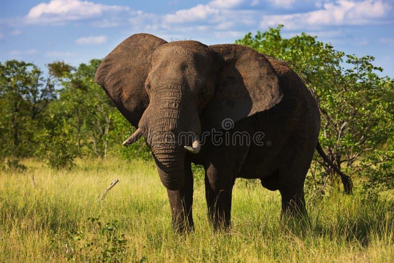 Touro do elefante imagens de stock royalty free