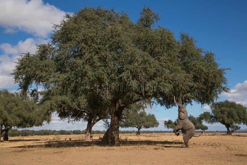 Touro do elefante africano & x28; Africana& x29 do Loxodonta; ir acima no seu para trás fotografia de stock royalty free