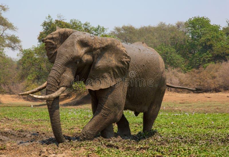 Touro do elefante africano & x28; Africana& x29 do Loxodonta; tomando um banho de lama fotos de stock