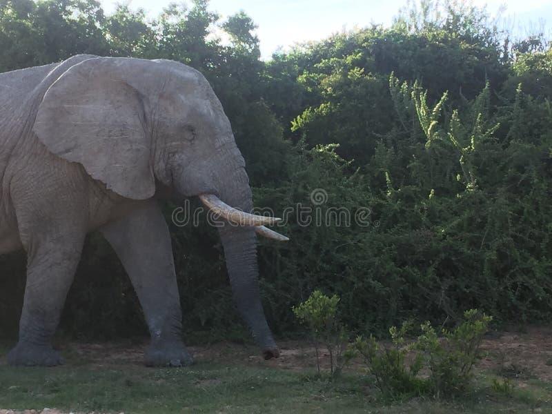 Touro do elefante em África imagens de stock