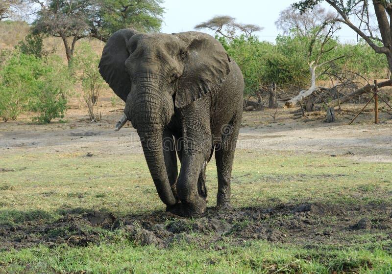 Touro do elefante que escava na lama fotografia de stock