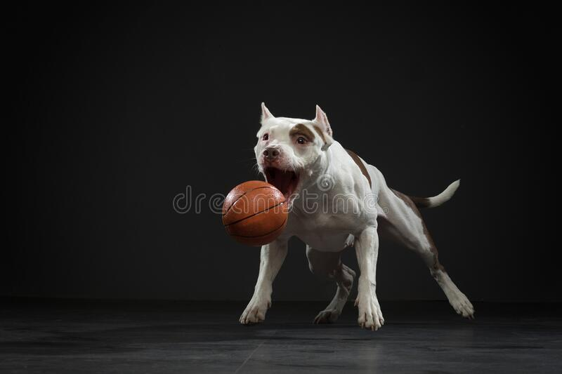 Touro Expressivo pit terrier pega a bola Cão ativo no estúdio, ação fotografia de stock