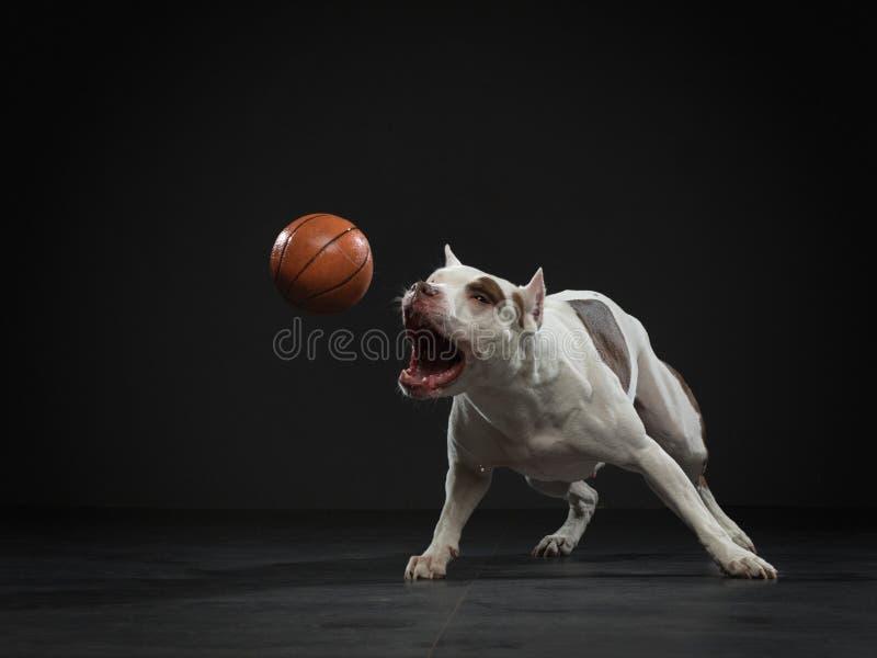 Touro Expressivo pit terrier pega a bola Cão ativo no estúdio, ação fotos de stock
