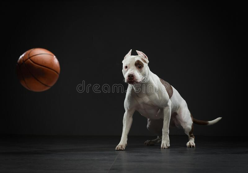 Touro Expressivo pit terrier pega a bola Cão ativo no estúdio, ação fotografia de stock royalty free