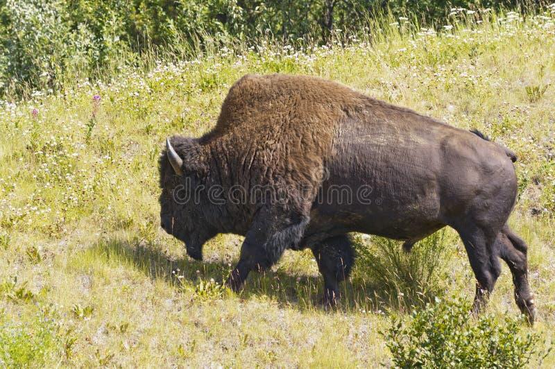 Touro muito grande do bisonte imagens de stock