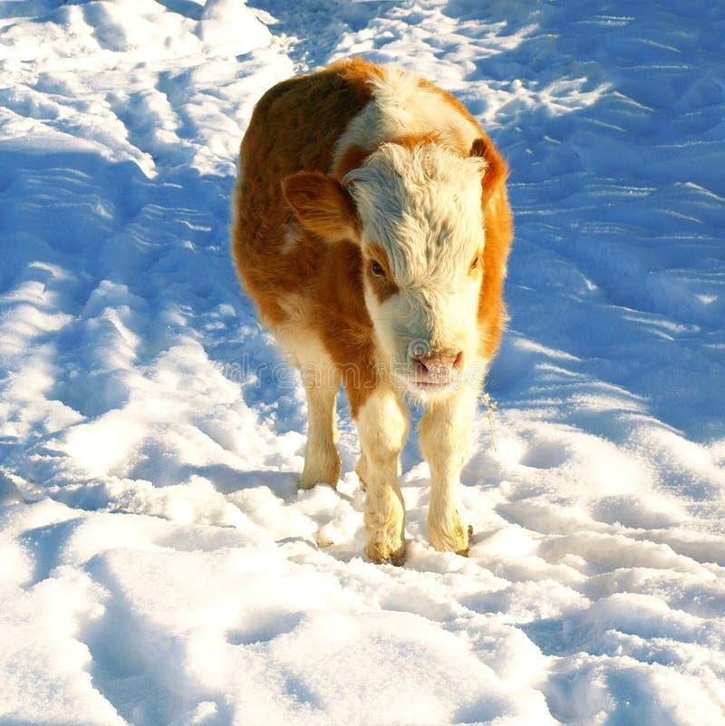 Touro pequeno na neve foto de stock royalty free