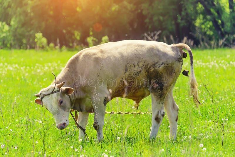 Touro só, uma vaca que pasta em um prado imagens de stock