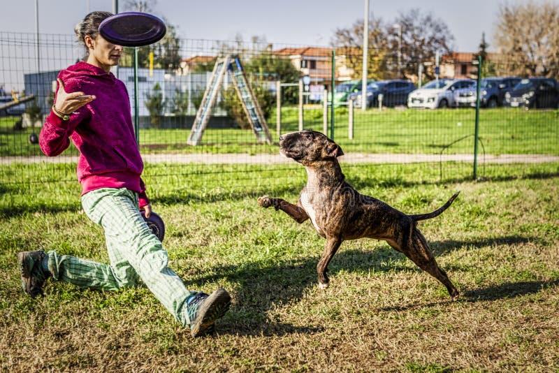 Touro terrier saltando durante o treino de cães-discos com treinador de raparigas fotos de stock