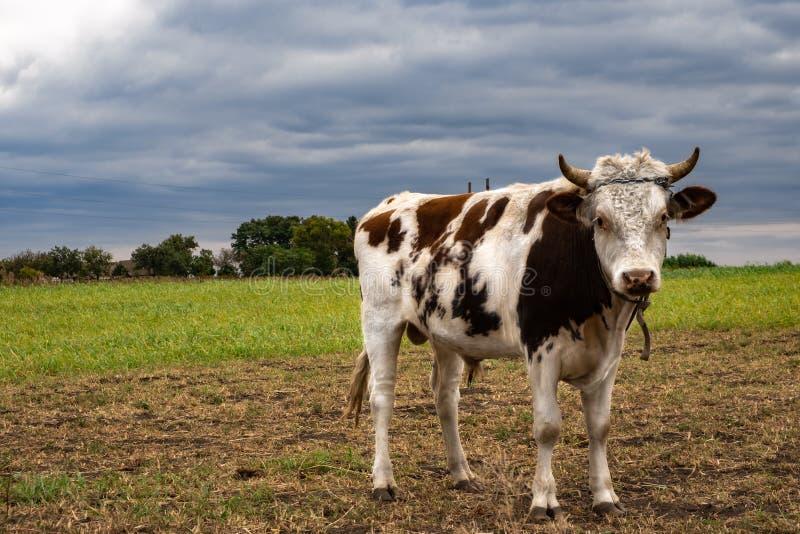 touro, vaca num campo fotografia de stock royalty free