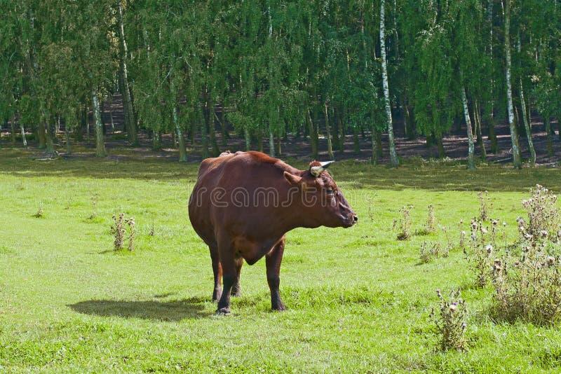 Download Touro vermelho imagem de stock. Imagem de campos, carne - 26517379