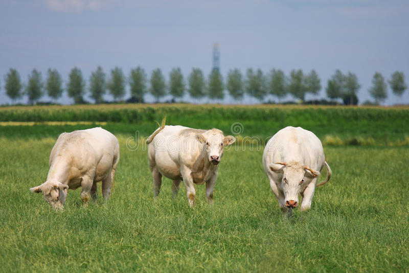Touros brancos em um campo verde fotos de stock royalty free