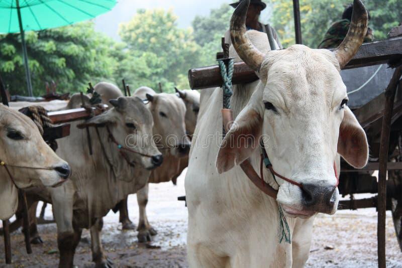 Touros brancos na exploração agrícola fotos de stock royalty free