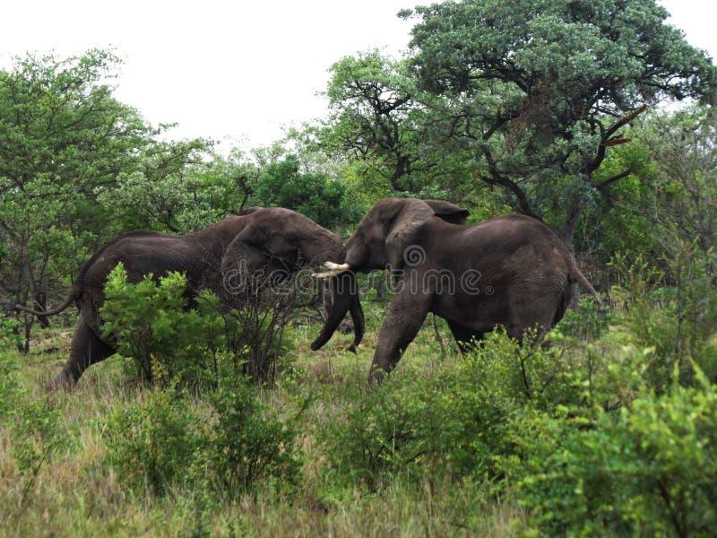 Touros de combate do elefante fotografia de stock