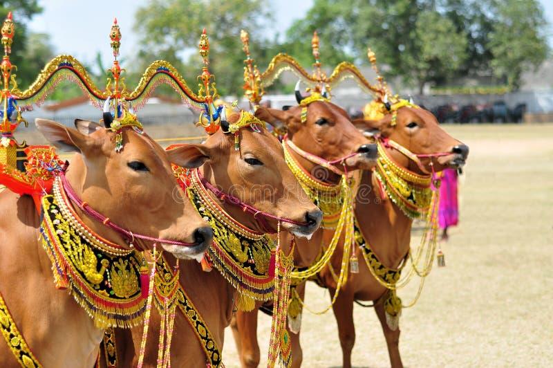 Touros decorados para a raça de Madura Bull, Indonésia fotos de stock