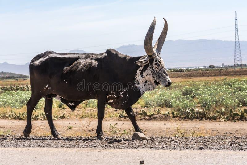 Touros do br?mane ou do gebo na estrada a Gheralta em Tigray, Eti?pia foto de stock royalty free