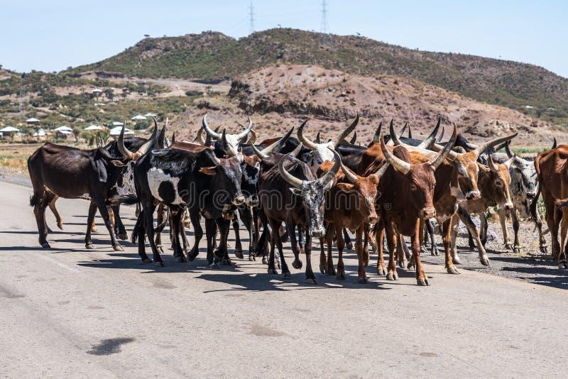 Touros do br?mane ou do gebo na estrada a Gheralta em Tigray, Eti?pia fotos de stock royalty free
